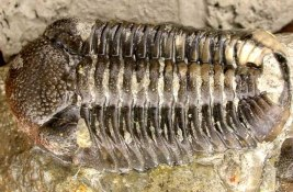 Phacops rana, 25 mm in length, collected from the lower Windom Shale by Brandon Bialy