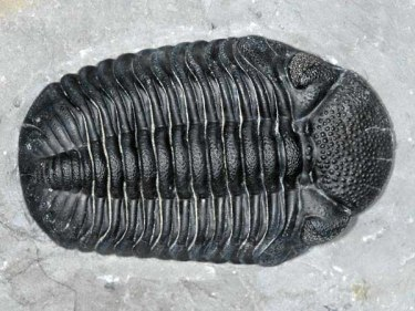 Trilobite collected by Jon Luellen and was prepared and cleaned by Gerry Kloc. Collected during the Dig with the Experts in May 2005 from the Lower Windom Shale.
