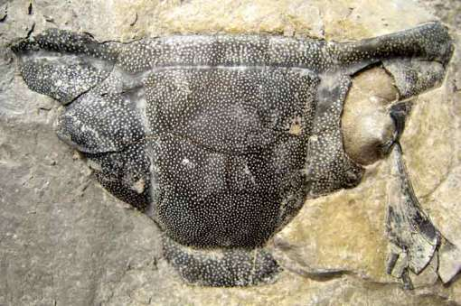 Dipleura Sp. 6.3 cm across collected by Jake Skabelund from the lower Windom Shale in 2007.