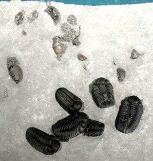 These six complete Phacops trilobites were collected by Jake Skabelund, HNHS member from Logan, Utah, during the May 19, 2007 Dig with the Experts from the Lower Windom Shale at Penn Dixie. There are also four blastoid calices near the top of this slab.