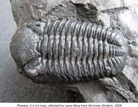Phacops, 4.4. cm long, collected by Lance Berg from the lower Windom, 2008
