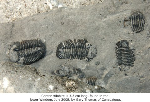 Center trilobite is 3.3 cm long, found in the lower Windom by Gary Thomas of Canadaigua