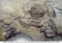 Trilobites, brachiopods, crinoids, and more found by Gary Thomas in the lower Windom in 2009. Trilobites are 2.3 cm long.