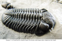 Phacops, 3.7 cm long found by Jonathan Hoag in the Windom Shale in 2009. Prepared by Dan Cooper.
