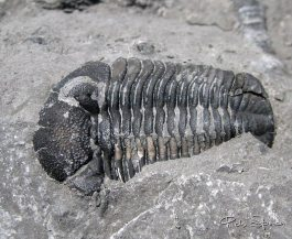 Trilobite, 3.4 cm long, found by Dan Cooper in the lower windom in 2011.