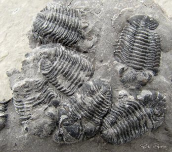 Clustered trilobites, found at Penn Dixie by Matt Phillips of Martinsville Virginia.