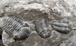 Cluster of Phacops trilobites discovered at Penn Dixie by Chris Cottom