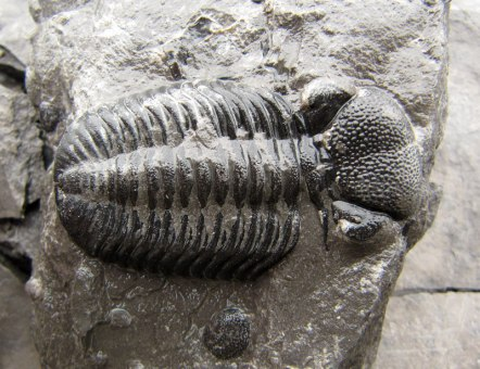 Phacops found at Penn Dixie by Don Bissett from Cincinatti, Ohio