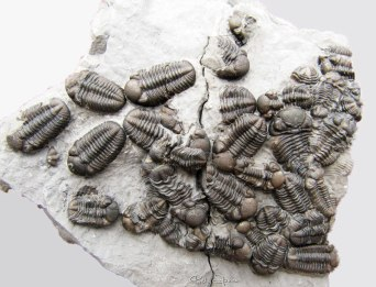 Phacops group, discovered by Matt Philipps in the Windom shale in 2011 and prepared by Marc Behrendt