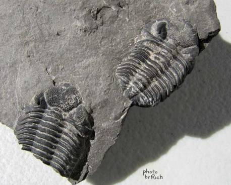Trilobites, complete specimen is 2.7 cm long, discovered by Jonathan Hoag July 2011 in the Windom Shale.