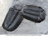 Phacops discovered in the Windom Shale by Matt Phillips and prepared by the Coopers.