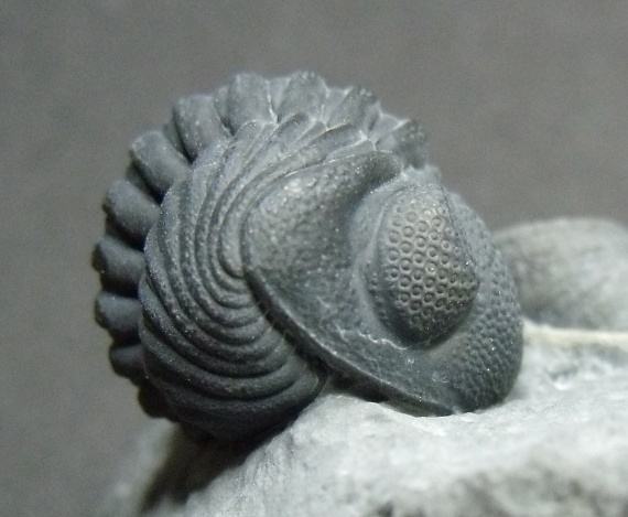 phacops-penn-dixie-2011