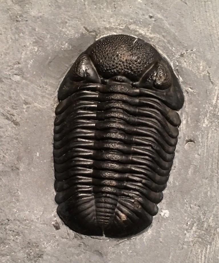 Phacops rana enlarged