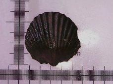 Unidentified brachiopod