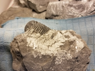 The unprepared trilobite as it would have appeared on the day of the dig.